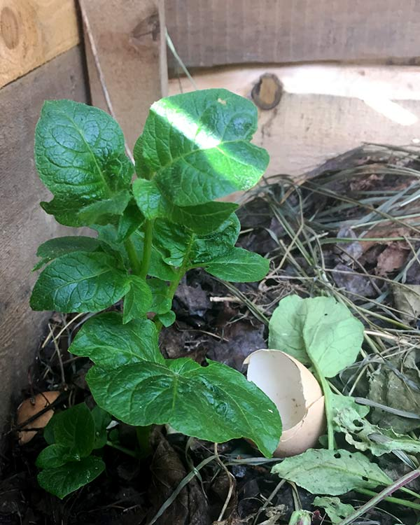 A potato plant sprouts out of the compost.