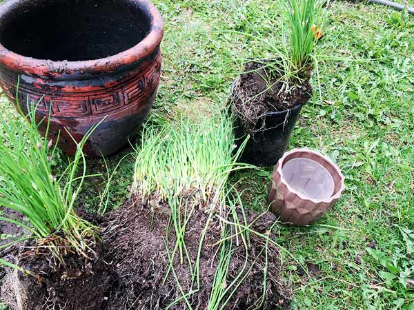 Clumps of chives in dirt sit beside empty pots.