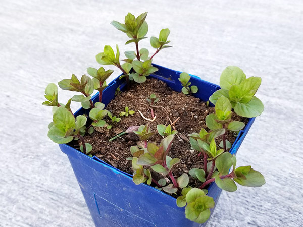 Mint grows in a blue container.