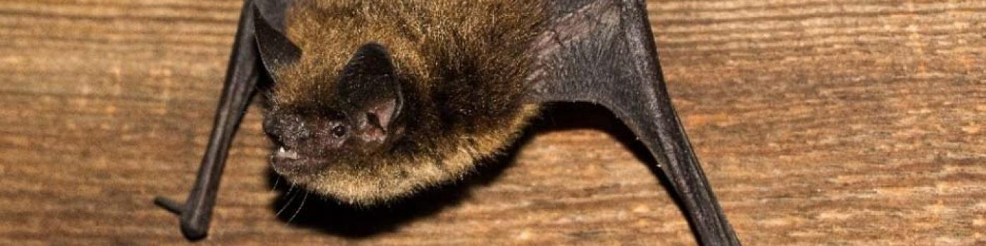 Bat hanging from a wood wall