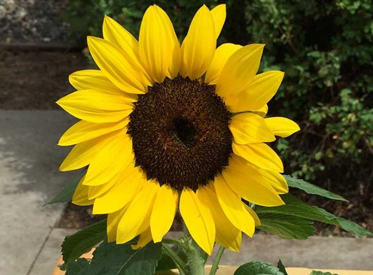 A short sunflower in a wood raised garden.