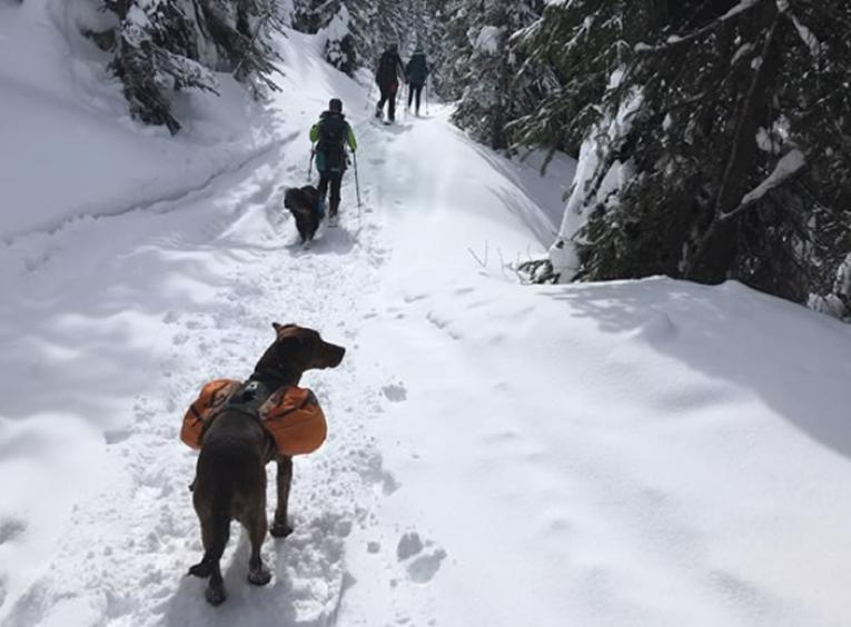 A dog with a backpack behind people snowshoeing.