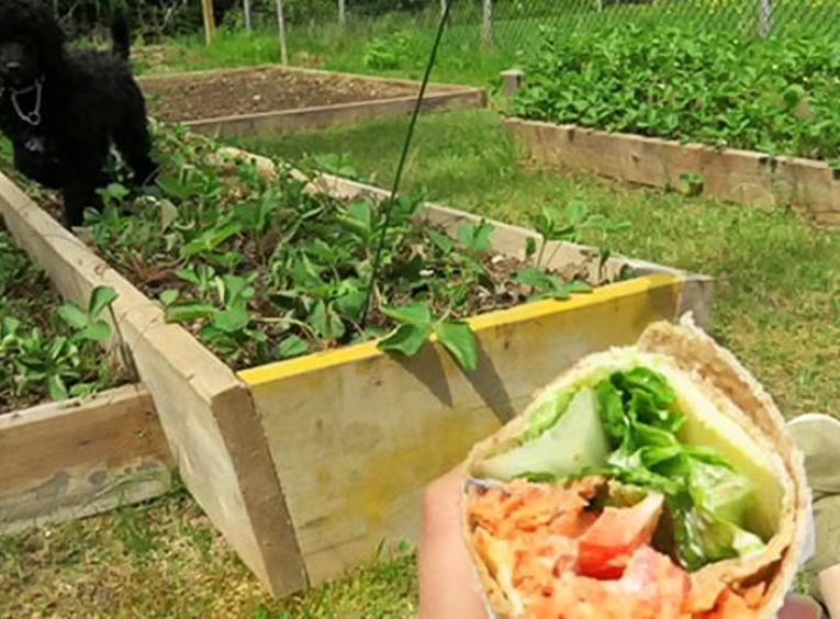 Dog in strawberry patch with person watching while eating a wrap.
