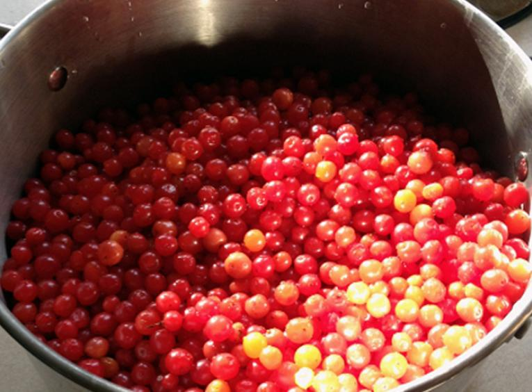 Stainless steel pot filled with fresh picked High Bush cranberries
