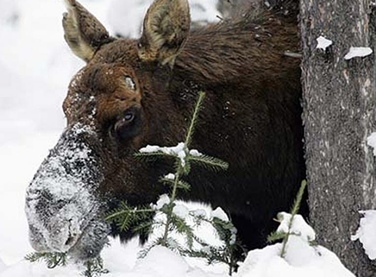 Moose in northern BC eating a sapling tree