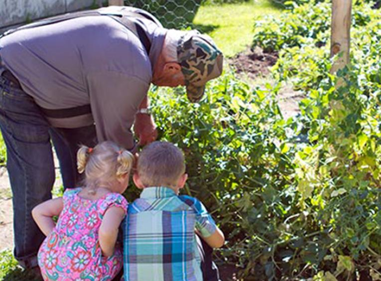 Senior in the garden picking peas with young children