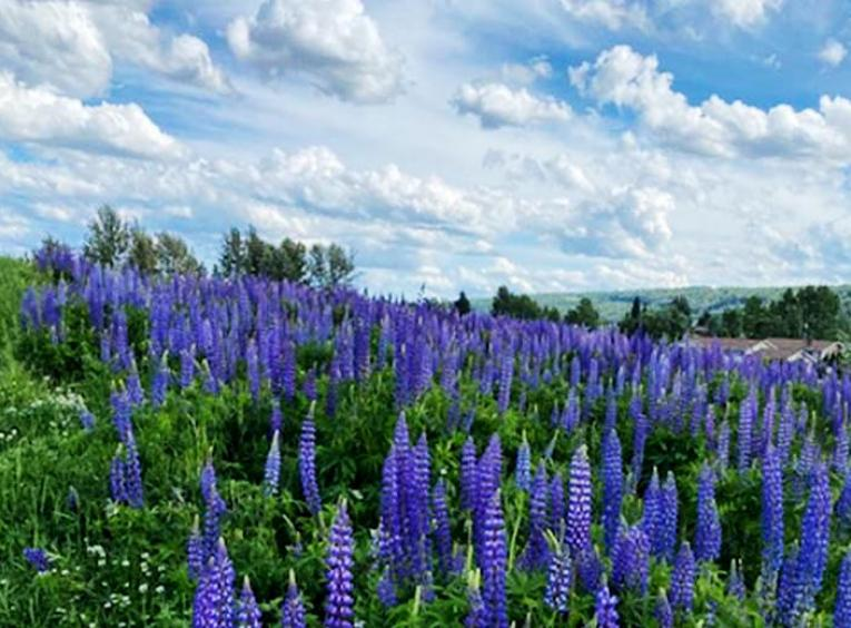 Lupine flowers cover a green field.