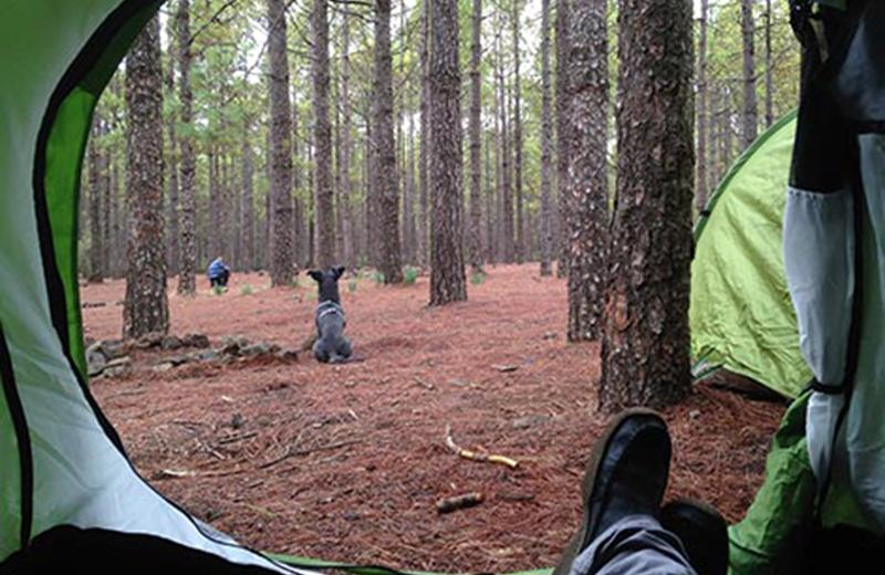 View of boreal forest from inside a green tent