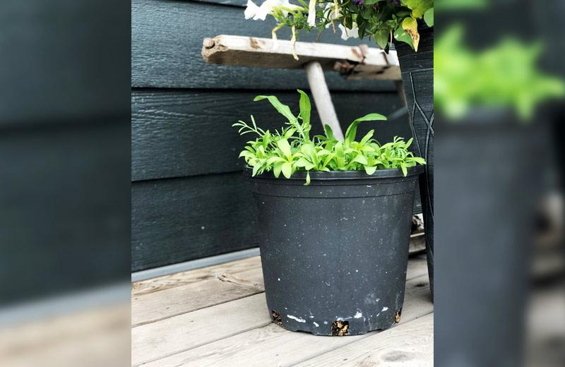 A black plastic pot has new growth coming out its top.