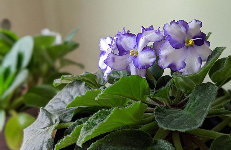 African violets in bloom reflecting the winter sunlight.